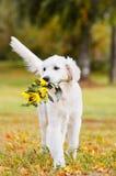 运载花花束的金毛猎犬小狗 免版税库存照片