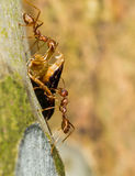 运载食物的二只红色蚂蚁 免版税库存照片