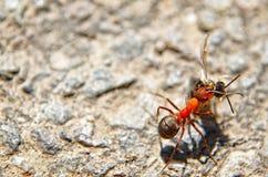 运载死的昆虫的蚂蚁 免版税库存图片