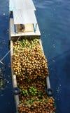 运输椰子乘小船,污水 免版税库存照片