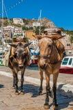 运输的驴 免版税图库摄影