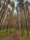 运输路线在杉树森林里 免版税库存图片
