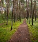 运输路线在杉树森林里 图库摄影