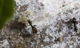 运输鸡蛋的蚂蚁 免版税库存照片