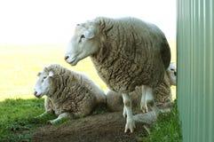 近三只白色词尾公羊流洒了 库存照片