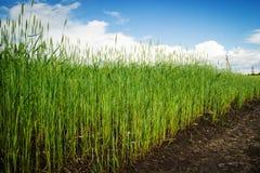 近路对绿色麦子的领域在蓝色云彩天空的背景的 免版税图库摄影