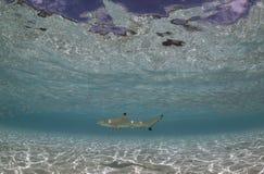 近鲨鱼马尔代夫 图库摄影