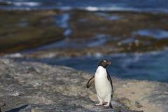 返回从哺养的Rockhopper企鹅海上 免版税库存图片