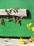 返回入蜂的蜜蜂分群与花粉 免版税库存图片