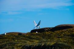 返回到它的一只北极燕鸥是巢 库存照片