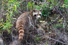 返回到森林的浣熊在搜寻食物的以后在河岸附近在秃头秃头瘤的瘤全国野生生物保护区 免版税库存照片