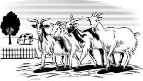 返回的山羊奔跑 免版税库存照片