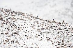 返回从吃草的动物在高喀喇昆仑山脉山区域  免版税库存图片