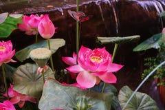 这个图象是关于莲花,曼谷泰国 免版税库存照片