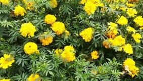 这个图象是斯里兰卡黄色花 图库摄影