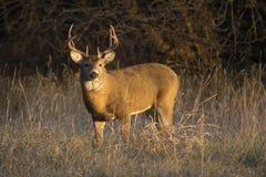 这个大堪萨斯白尾鹿大型装配架在晚秋天搜寻母鹿` s沿着一条林木线 免版税库存图片