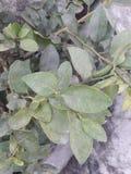 这些是看柠檬植物的叶子很有吸引力 库存照片
