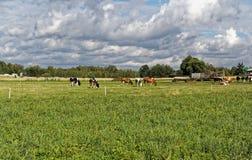 这些母牛喂养用自然食物 库存照片