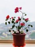 这些花是否是桃红色? 免版税库存照片