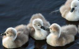 这些逗人喜爱的鸭子的第一个亲吻 免版税库存照片