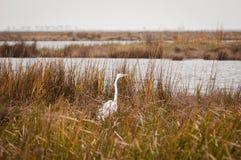 伟大的白鹭扫描沼泽 免版税图库摄影