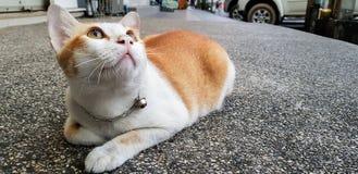 这只橙色和白色猫在街道上放下并且查寻某事 免版税库存图片