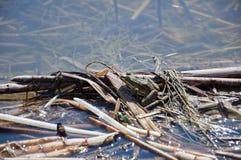 这只池塘青蛙在一个池塘的被过滤的阴影lazes在乌克兰 它感觉伪装由浮动叶子和枝杈 图库摄影