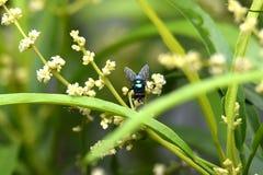 这只绿色昆虫称在叶子之间的一朵绿色花被栖息的飞行 库存图片