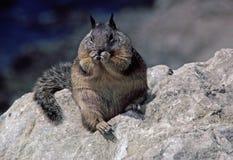 一只肥胖灰鼠。 免版税库存照片