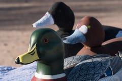 这只鸭子从休息引人注意 图库摄影