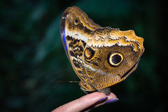 这只蝴蝶它的名字Morpho peleides 免版税图库摄影