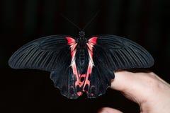 这只蝴蝶它的名字Papilio Anchisiades 库存图片
