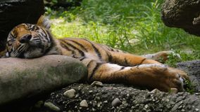 这只Sumatran老虎采取休息 免版税库存图片