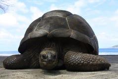 在La Digue海岛,塞舌尔群岛的巨型草龟 免版税图库摄影