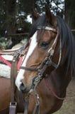 这是一匹大和棕色马 免版税库存照片