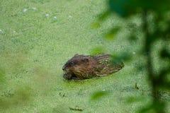 这是一只麝香鼠在有海藻的一个池塘 免版税库存照片