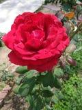 这是一朵红色玫瑰色花的图象 免版税图库摄影