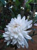 这是一朵Kapuru花在斯里兰卡 免版税库存图片