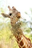 年轻长颈鹿吃 库存图片