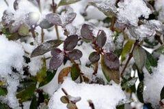 这是与绿色和伯根地叶子的灌木 库存照片
