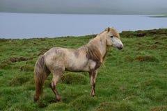 这是乐趣有一个白马 冰岛公马,有很多土 免版税库存照片