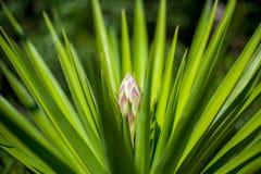 这是公认的一朵captus花在毛里求斯庭院里 图库摄影