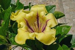 这是热带攀缘植物最大值,金杯藤,从家庭茄科 免版税图库摄影