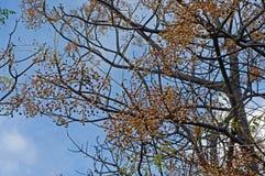 这是苦楝根皮azederach、拣树树或者海角丁香,小珠树,家庭楝科 免版税库存照片