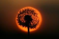 在日落的蒲公英 免版税库存图片