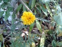 这是黄色一朵万寿菊花的图象与绿色叶子的 库存图片