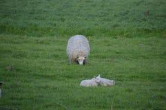 这是绵羊怎么吃 图库摄影