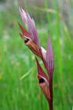 这是Serapias vomeracea、长有嘴serapias或者犁耙serapias 库存图片