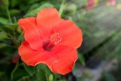 这朵美丽的红色花可以称Chinese罗斯, Gudhal, Chaba,鞋子花 免版税库存图片
