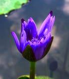 这朵美丽的荷花或莲花 免版税库存照片